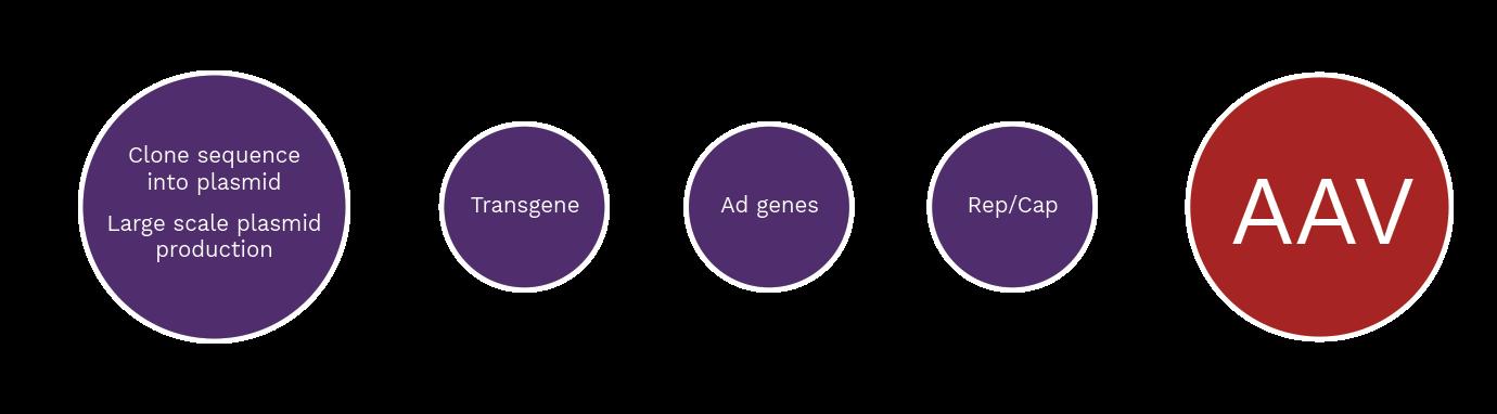 Pro10 process: Clone sequence into plasmid, large scale plasmid production + Transgene + Ad Genes + Rep/Cap = AAV